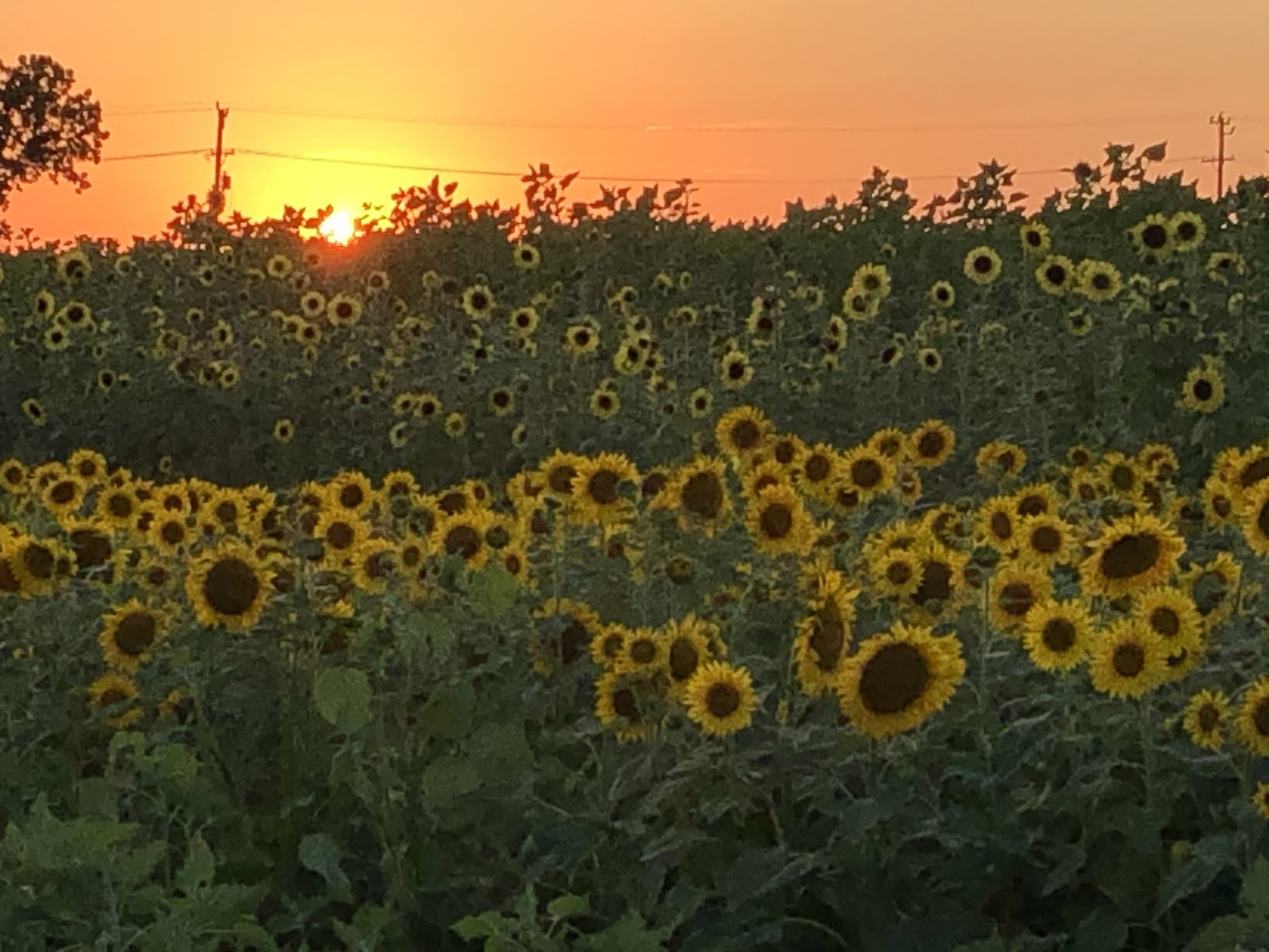 Sunset with Sunflowers. Image courtesy of Christina-Marie Sears